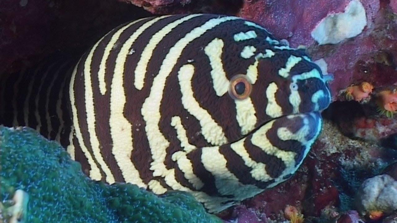 Moray Eel Size Moray Eels Reef Life of The