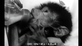 Un piccolo babbuino rimasto orfano.