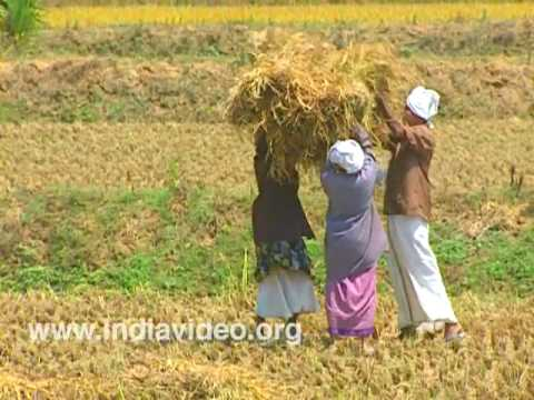 Paddy harvesting at Nenmara village