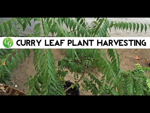 Curry Tree - Pruning & Harvest of Curry Leaf Plant or Tree