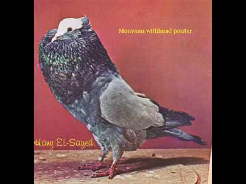 الحمام النفاخ pouter pigeon.wmv Music Videos