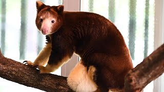 Endangered Baby Tree Kangaroo Pops Out Of Momma's Pouch In Time For Mother's Day