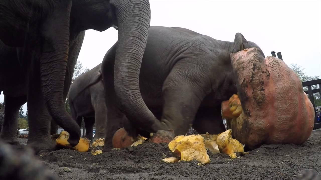 Féltonnás tököket taposnak szét az elefántok - videó!