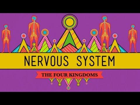 The Nervous System - CrashCourse Biology #26