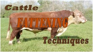 Cattle Fattening Techniques
