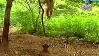 قرد شقى جدا شوف عمل أية فى النمور