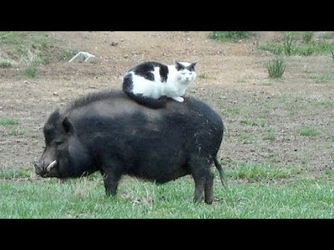 Funny FARM ANIMALS will make you LAUGH EXTREMELY HARD - Funny ANIMAL compilation thumbnail