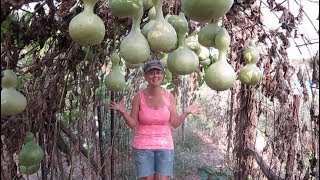 We Had No Idea Birdhouse Gourds Would Grow So Well!