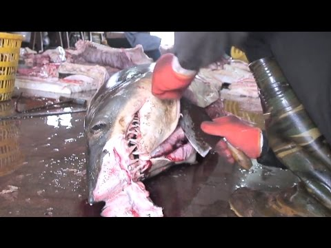 China Whale Sharks - Biggest ever shark slaughterhouse uncovered