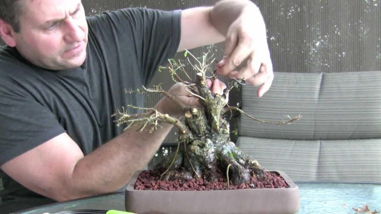 How to bonsai make a bonsai tree youtube for How to make an olive tree into a bonsai
