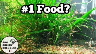 Feeding Over 1000 Shrimp