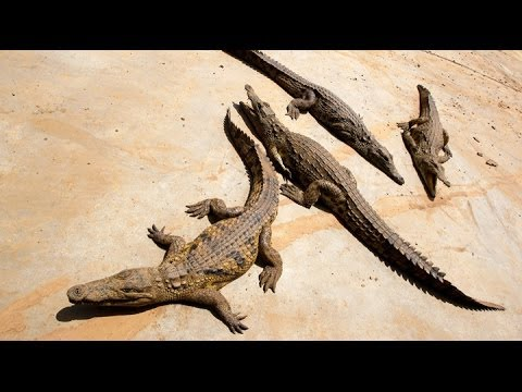 Crocodiles Can Climb To New Heights Making Trees A Haven