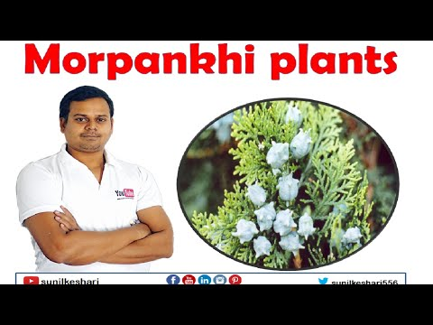 Platycladus orientalis or Morpankhi plants found in green garden flowers and  farming tips how to
