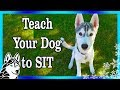 How to Train your Puppy to SIT Lay Down and Stop Biting Train your Dog