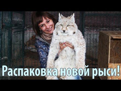 Неожиданная посылка! РАСПАКОВКА якутской рыси! / Unboxing of the Yakut lynx