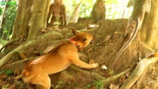 Amazing!Ashley angry with dog so much|Dog trying to bite with monkey,Wildlife Trailer#47