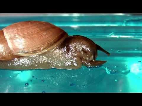 Rosy WolfSnail Eating Slug