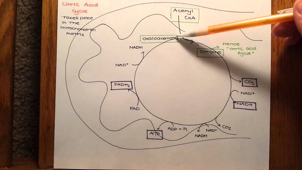 A Closer Look at Glycolysis  A Closer Look At The Citric Acid Cycle