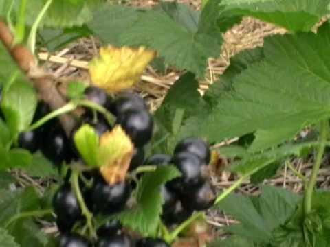 Выращивание чёрной смородины на приусадебном участке 61