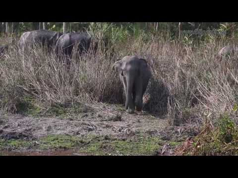 Wildlife of India, Kaziranga National Park, Assam India