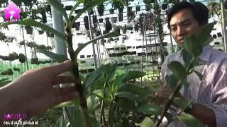Sức Sống Phi Thường Của Hoa Lan Dưới Con Mắt Của Anh Nguyễn Ngọc Hà [HOALANTV]