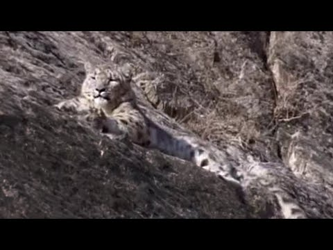 Rare snow leopard sighting  - Snow Leopard: Beyond the Myth - BBC