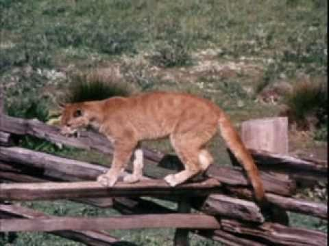 Charlie the Lonesome Cougar - Charlie's Milk Break