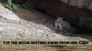 T39 aka Noor Tiger : Resting is shade away from cubs