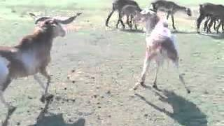 Baby Goat Fight Cute And Funny