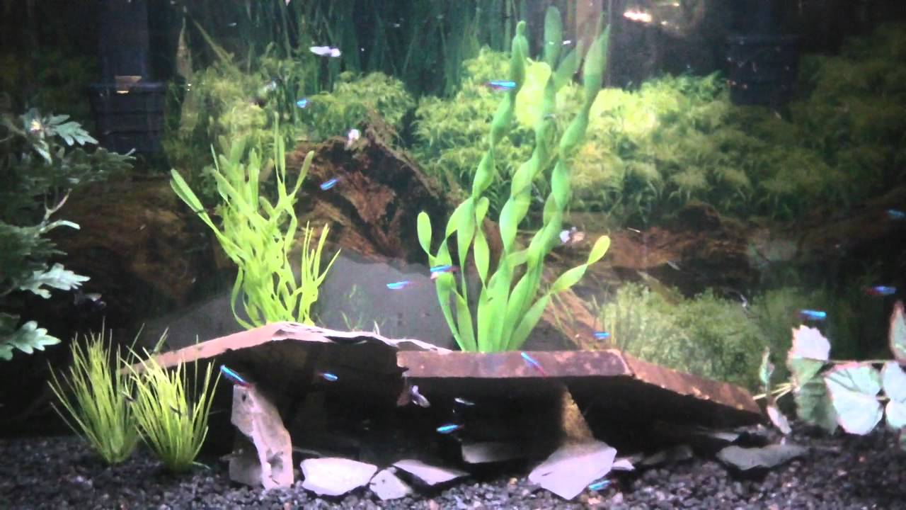 Neon Tetras And Guppies Guppies And Neon Tetras