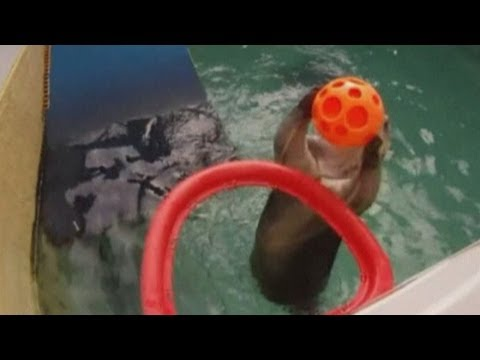 Sea otter 'Eddie' plays basketball and slam dunks at Oregon Zoo