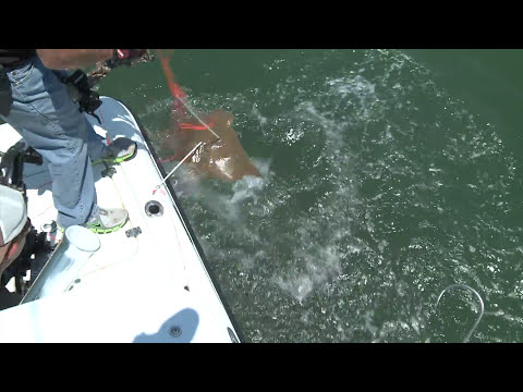 Shark verses man and wins then over populated sting rays get eaten by bow hunters.