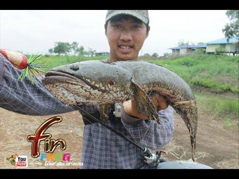FIN frog  กบ FIN ถล่มปลาช่อนยักษ(ข้างทาง)