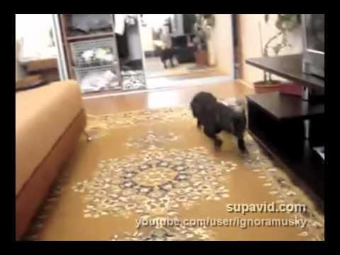 Thumbnail of video Bulldog dramático-hiperactivo