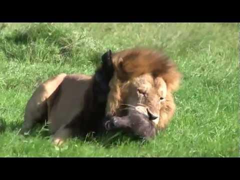 Leão Ataca E Devora Filhote de Búfalo (Cena Impressionante)