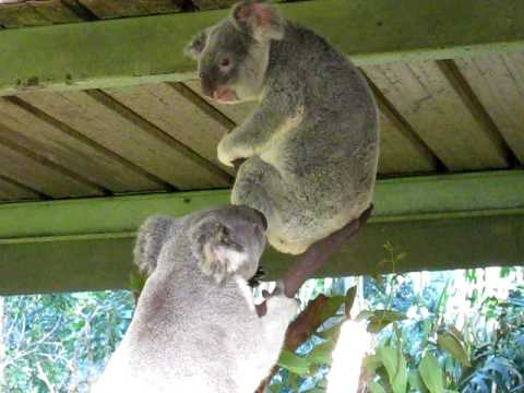 Crazy Koala Fight