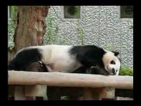 王子動物園のパンダ01