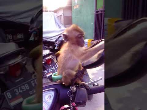 Monyet ku birahi