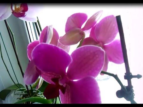Орхидея домашняя уход и выращивание