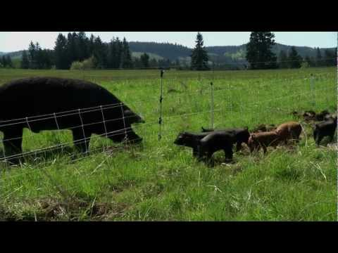 Pasture Raised Pigs