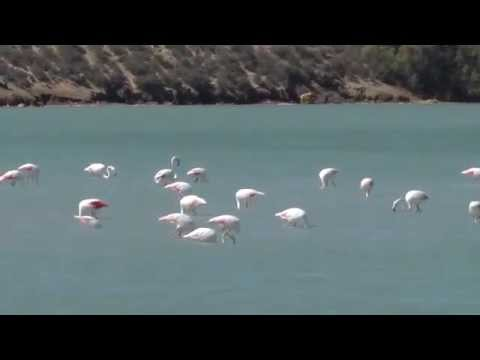 Salinas de San Pedro Lo Pagan Flamingos fishing