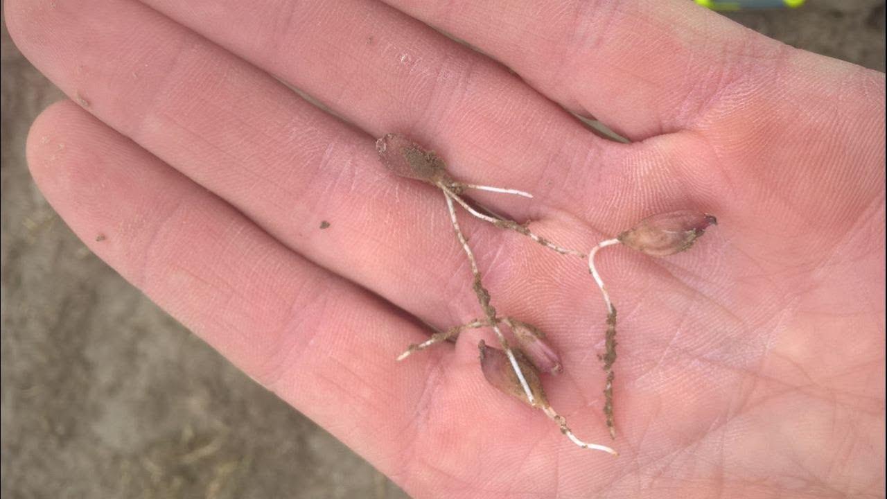 Выращивание лука из бульбочек 38