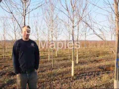 Xxx Trees For Your Landscape Grown Near Phila Pa     (craigslist Add) video