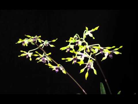 orchid storczyk 0 Kwiaty dendrobium