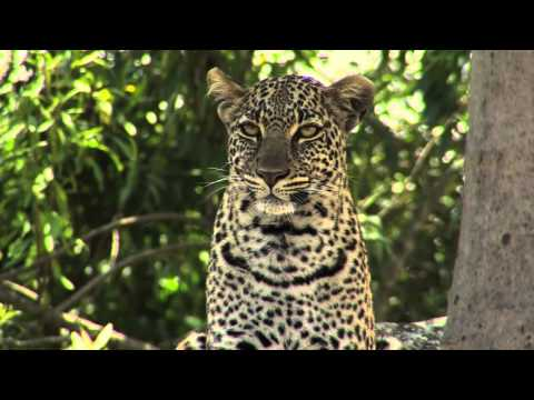 The Big Five in Africa - Leopard (english subtitles)
