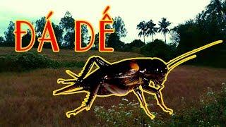 VTV VLOGS - ĐI BẮT DẾ ĐÁ - Catching Crickets Stone