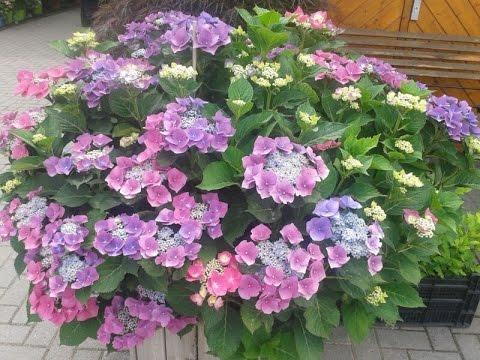 Garten Im Frühling - Der Hortensienschnitt