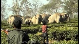 Wild tuskers threaten tea garden in Assam, India