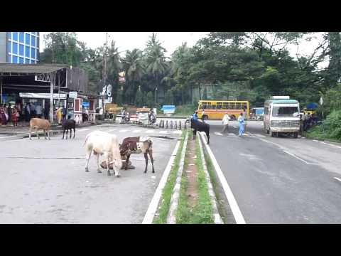 4 legged Traffic (Margao, Goa)