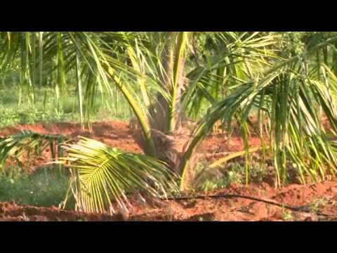 Coconut Cultivation